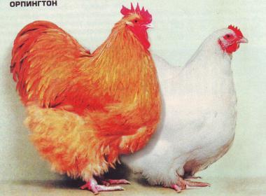 Мясо-яичные куры Орпингтон и Австралорп