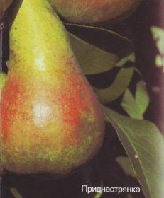 Описание сорта груши Приднестрянка