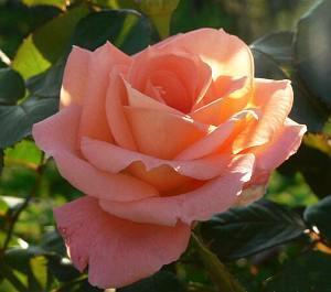 Как избавиться от тли на розах