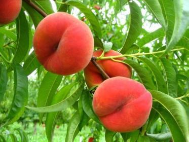 Персик. Описание, полезные свойства