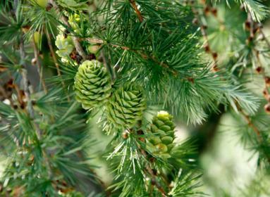 Как вырастить сосну из семян