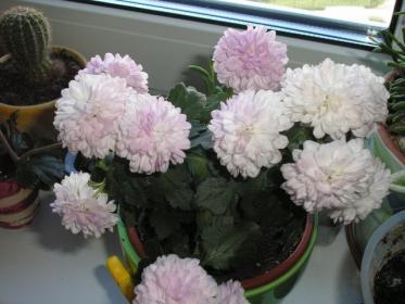 Как выращивать хризантемы в комнате?