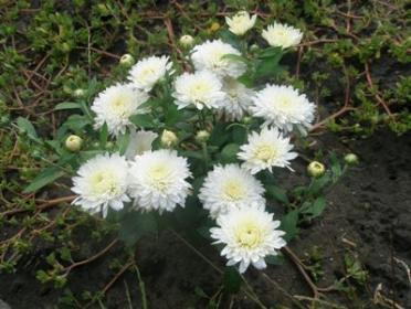 Миниатюрная карликовая хризантема