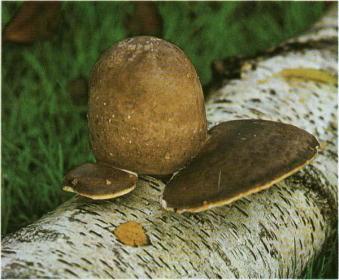 Как защитится от гриба-трутовика
