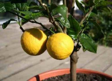 Черенкование лимона