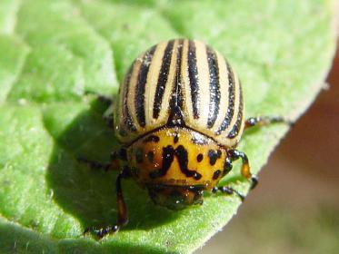 Как избавится от колорадского жука горчицей и уксусом?