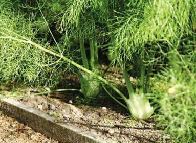 Как выращивать фенхель?