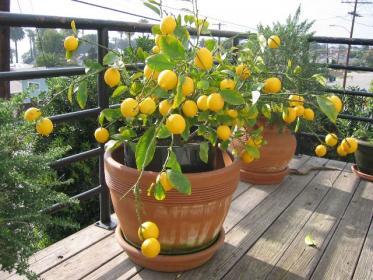 Как выращивать лимон?