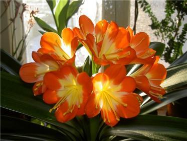 Кливия: описание, выращивание