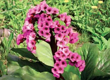 Бадан: описание, выращивание, размножение
