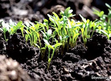 Подзимний посев овощей