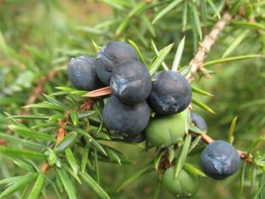 Пряность из плодов можжевельника