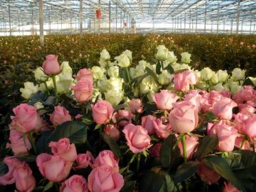 Как выращивать розы в теплице своими руками