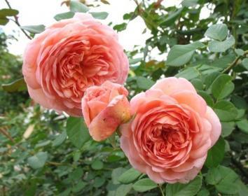 Как правильно выкопать розы на продажу?