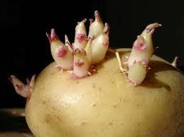 Как размножать картофель ростками из глазков?