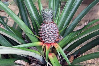 Как выращивать, размножать ананас в квартире?