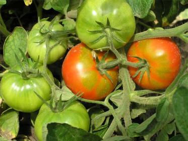 Как защитить помидоры от солнца?
