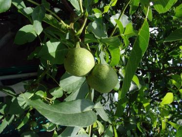 Особенности цветения ореха