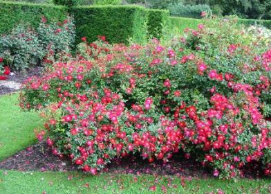 Когда и как обрезать почвопокровные розы