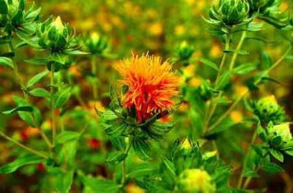 Описание цветка сафлора