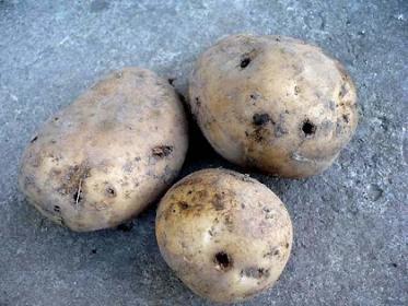 Меры борьбы с проволочником (Дротянка) на картофеле
