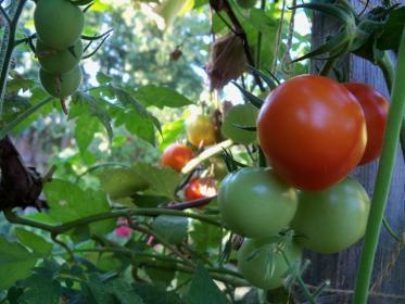 Как добиться высокого урожая помидор?