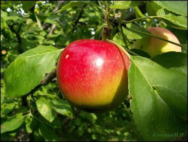 Характеристику сорта яблони Квинти