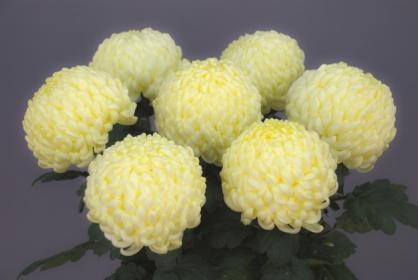 Уход за крупноцветковой хризантемой