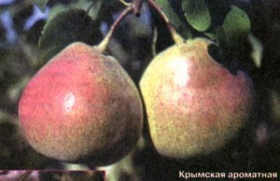 Осенние сорта груш (Крымская ароматная, Крымская медовая, Крупноплодная)
