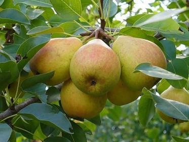 Осенние сорта груш (Кубанка, Кучерянка, Любава)