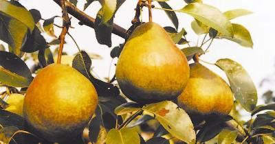 Осенние сорта груш (Скороплодная, Старокрымская, Таврическая)