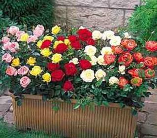 Как ухаживать за миниатюрными комнатными розами?