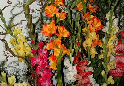 Классификация гладиолусов по размеру и окраске цветка
