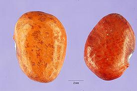 Описание сортов фасоли (многоцветковая, остролистная, тепари)