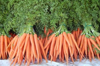 Особенности   посева моркови на полях