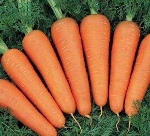 Биологические особенности моркови