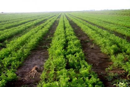 Вредители моркови  на полях