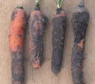Опасные  болезни  моркови