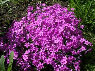 Как получить вторичное цветение флоксов