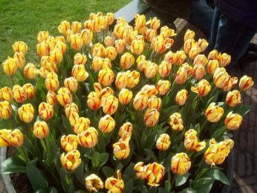 Как  вырастить зимой тюльпаны в  домашних условиях?
