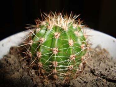 Рост и цветение кактусов