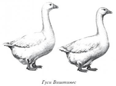 Характеристика породы  гусей виштинес
