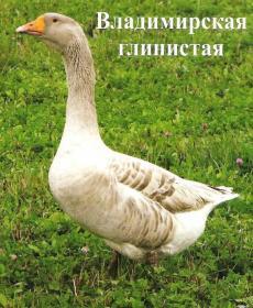Характеристика породы владимирские глинистые гуси