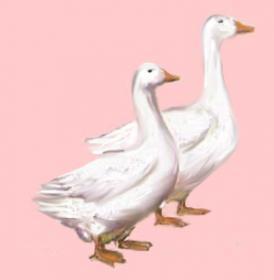 Характеристика породы итальянские гуси