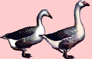 Характеристика породы  роменские гуси.