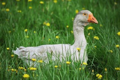 Как правильно ощипывать  гусей?