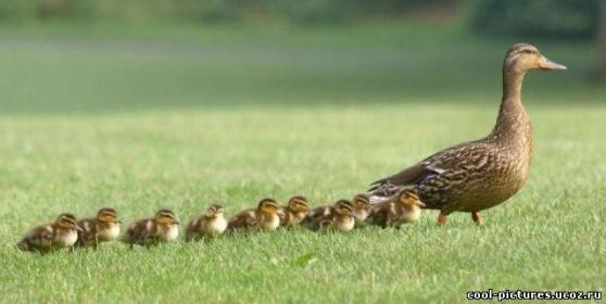 Контакт между  гусятами  и  гусыней- наседкой