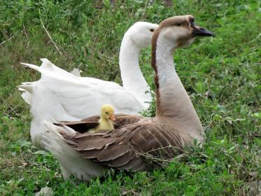 Общая характеристика и лечение пастереллеза гусей
