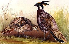 Характеристика клинохвостого фазана