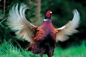 Как  правильно ухаживать  за фазанами?